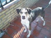 Rufino. cruce beagle menos abandonado dueño. (sevilla)