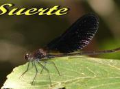 calopterys haemorrhoidalis, libélulas