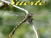 Oncychogomphus forcipatus, libélula