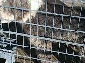 Bobtail hembra triste perrera cordoba,urge ayuda para ella.