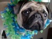 Pepa celebra nosotros 1000 Mibulldog Francés