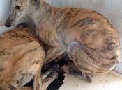 Galguitas aterrorizadas perrera Badajoz