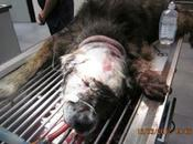Goliath maltrato bestial portugalete (vizcaya)